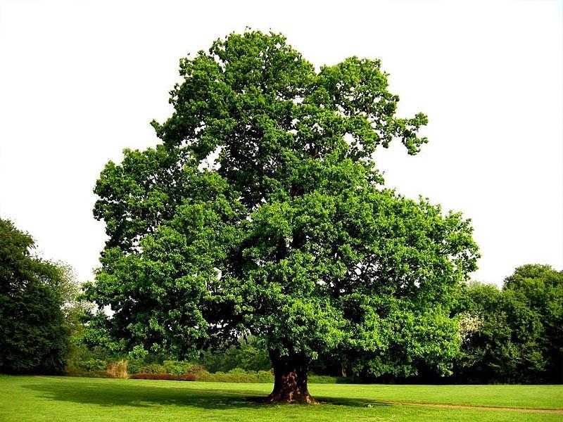 Скальный дуб (Quercus petraea) в �спании