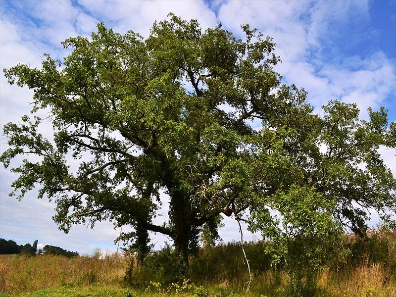 Пиренейский дуб (Quercus pyrenaica) в �спании