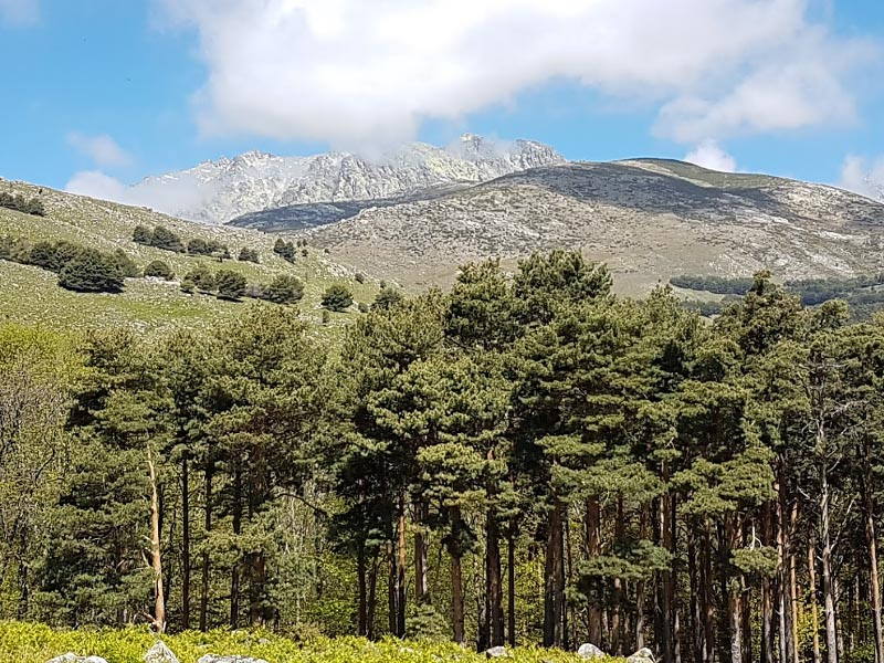 Сосновый лес на склонах Центральной Кордильеры
